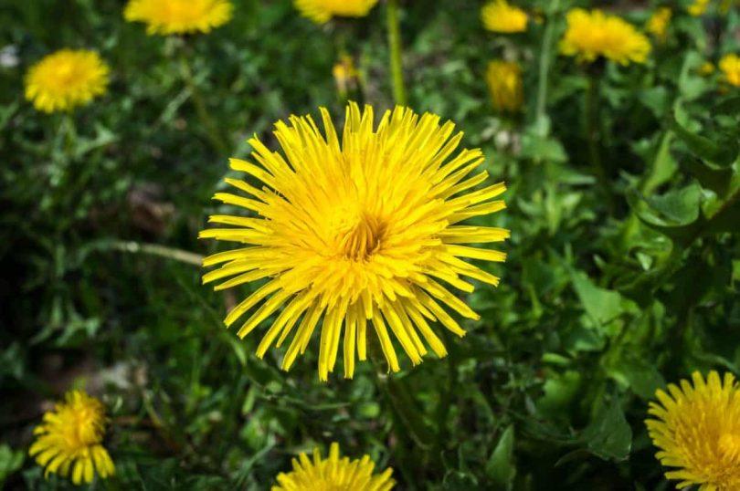 Jaké jarní léčivé rostliny, které účinně detoxikují organismus?